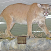 Cougars poached; DNA tests done