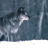 Wolves removed from endangered species list