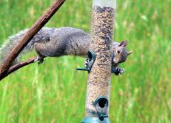 Bird feeder battles: winning the war against squirrels