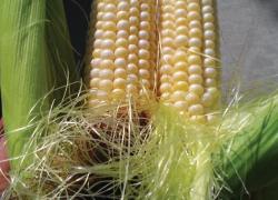 Double-eared corn oddity