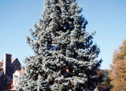 Receive 10 Free Colorado Blue Spruce Trees