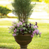 Flowering shrubs in containers can bring easy elegance to a garden