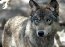 Limited public wolf harvest authorized
