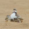 Great Lakes piping plover struggling in Michigan
