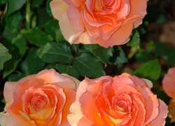 Maximize and extend the beauty of roses with proper care