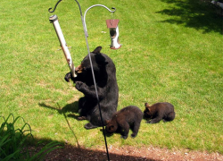 To prevent bear problems, remove all food sources