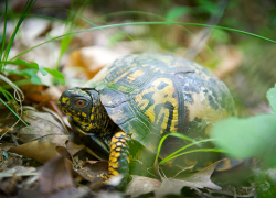 Protecting Michigan box turtles