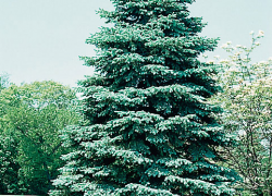 Receive 10 free Colorado blue spruce trees