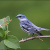 Michigan Audubon helps conserve Cerulean Warblers