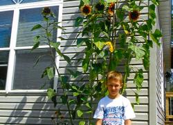 Towering sunflowers