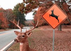 Deer-vehicle collisions decline