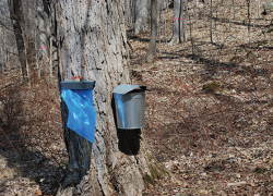 Michigan maple weekends celebrate sweet agricultural heritage