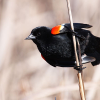 Red-winged blackbird arrival