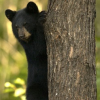 Black bear education program for grades 6-8