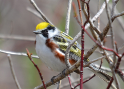 Warblers Come and Go