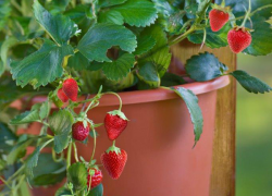 Fruitful container gardens