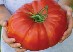 Top tips for growing tasty tomatoes