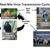 West Nile Virus activity detected