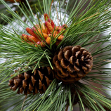 Fresh Market: The Pinecone