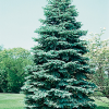 Receive 10 free Blue Spruce trees