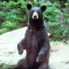 144-year bear absence