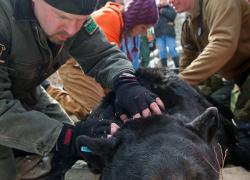 DNR seeks denned bears in northern Lower Peninsula