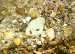 Help prevent spread of invasive New Zealand mudsnail