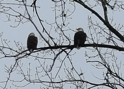 Eagles spotted at Pine Lake