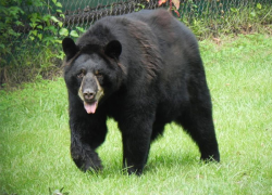 Bear that mauled teen in 2013 killed in Wexford County