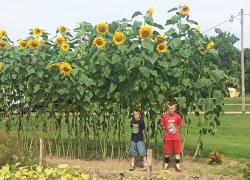 Toweringsunflowers