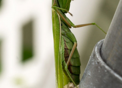 Praying mantis gets ready for winter