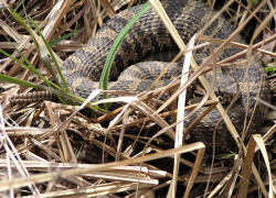 Michigan rattlesnake listed as threatened
