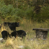 Black bears and humans: What you should know