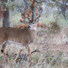 Another Montcalm deer positive for CWD