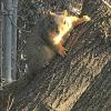 Squirrelstare down