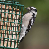 FeederWatch asks: whose feathers get ruffled?
