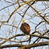 Bald eagle overlooking Pine Lake