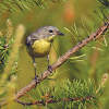 Michigan DNR lauds federal announcement on comeback of Kirtland's warbler