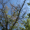 Avoid oak wilt:Don't prune or injure oak trees during greatest risk period