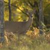 New deer regulations related to chronic wastingdisease