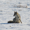 Coyote sightings and tips to prevent conflicts
