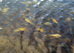 Dead fish may show up as ice begins to thaw