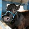 Cow Plop Raffle