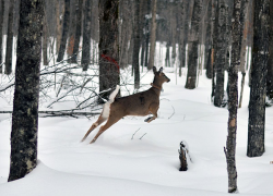 Deer movement in the Upper Peninsula