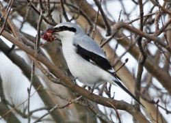 Birds to see at year's end