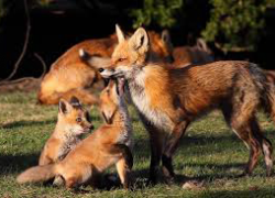 Red and Gray Foxes