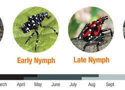 Spotted lanternfly could be the next invasive species to threaten Michigan's agriculture, natural resources