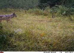 Michigan wolf surveys show stable, healthy population