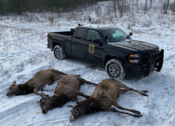 Three northern Michigan men arraigned in 2019 Pigeon River Country elk poaching case