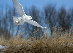 With Michigan owls, know your birding etiquette